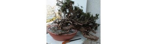 yamadori (materiali) e bonsai.